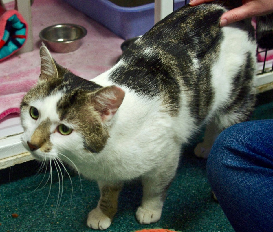 Brown County Humane Society Cat Of The Week Kirby