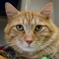 Cat of the Week – Tiger
