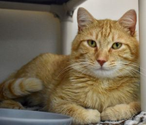 Cat of the Week - Tiger