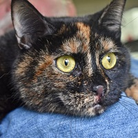 Cat of the Week – Maple Chai